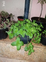 Well established mint plants 2 rials each