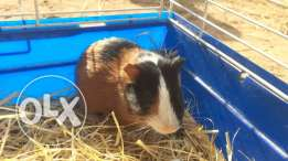 beautiful guineapigs for sale