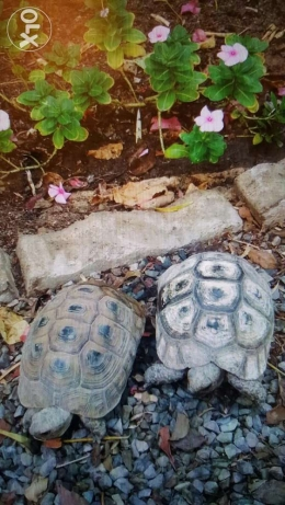 Two Healthy and Mature tortoises السيب -  1