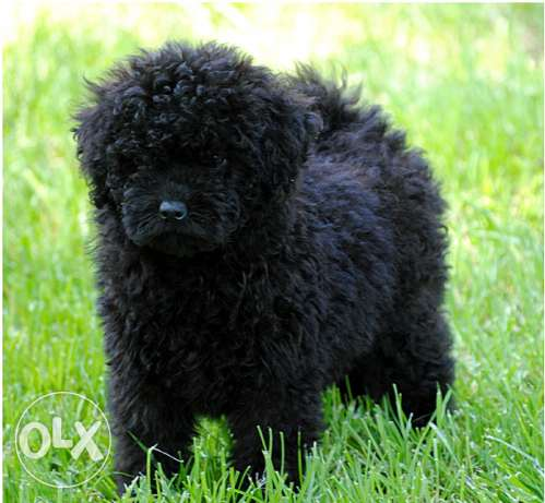 "Hungarian PULI ""Mop Dog"" for sale مسقط -  3"