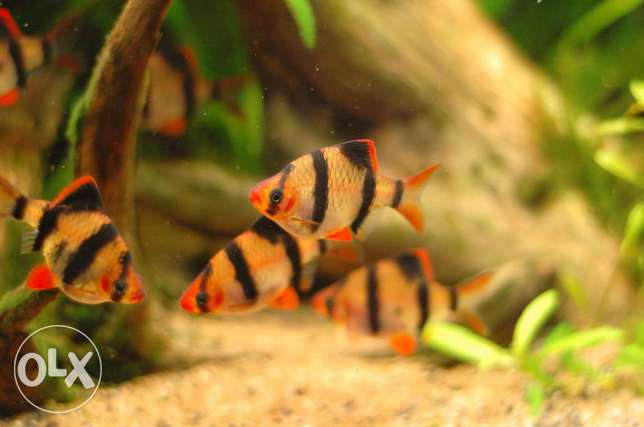 Playful Tiger Barbs fish for sale