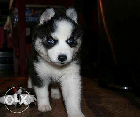 Siberian husky puppies 3 months for sell