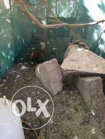 Francolin For Sale