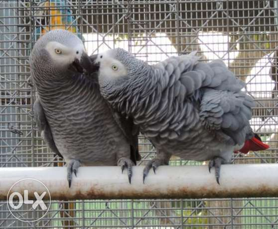Pair of African Grey Congo Parrot صلالة -  2