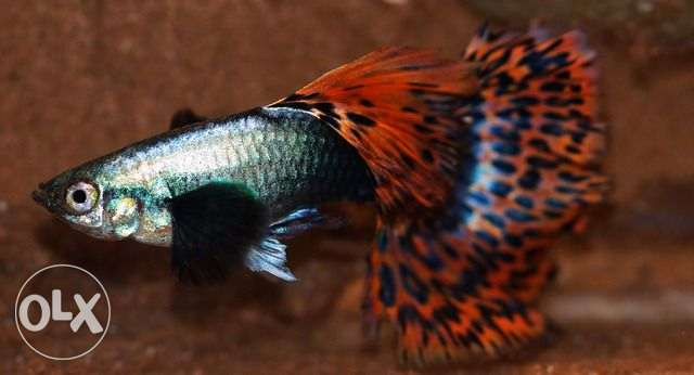 Exclusive Exotic & Rarest of Rare Guppy fish for sale (Rarest) !!!