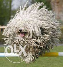 "Hungarian PULI ""Mop Dog"" for sale مسقط -  1"
