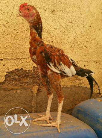 Pakistani Aseel Rooster for Sale السيب -  1
