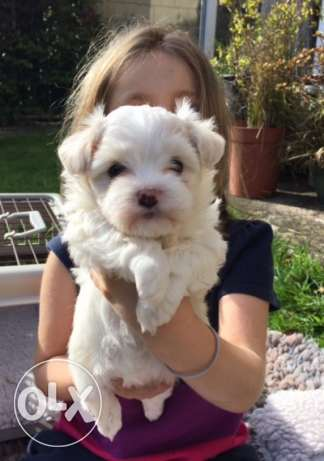 Adorable Havanese Puppies Seek Loving New Homes.