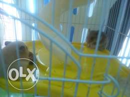 Five Hamsters 4 sale with two cages.Father and mother with three kids