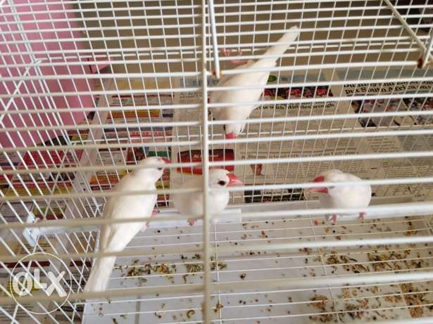 birds - 4 nos with Pizen with 9 kg of food is for sale مسقط -  4