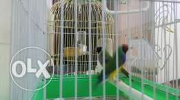 Golden Finch for sale