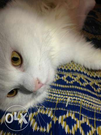 Turkish Angora Male cat. مسقط -  6