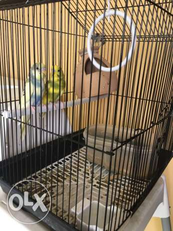 a pair of live birds with cage &accesories
