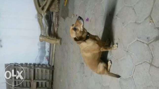 Two excellent obedient dogs for adoption السيب -  1
