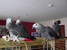 Talking congo african grey parrots for sale