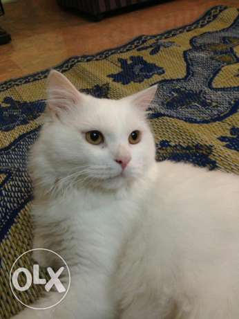 Turkish Angora Male cat. مسقط -  3