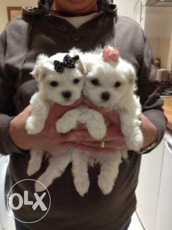 Lovely and adorable Bichon maltese puppies for good homes