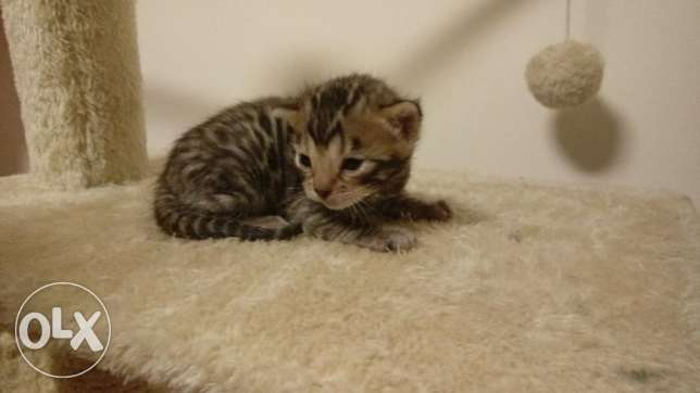 cute tiger bengal kittens مسقط -  1