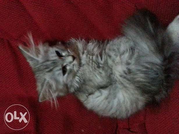 Two Shirazi Cats _ 3 months old مسقط -  2
