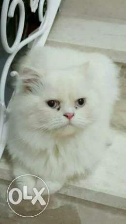 Persian doll face cats مسقط -  1