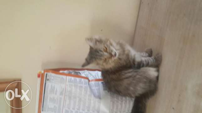 Turkish Angora Kittens For Sale مسقط -  4