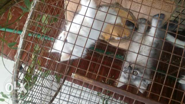 Persian cats for sale مسقط -  5