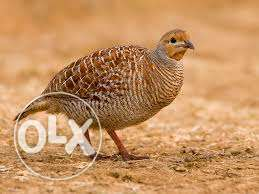 search gray francolin female age 8 months to 1 year