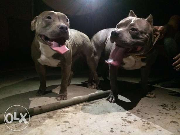 American bully puppies for sale مسقط -  1