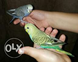 A Very Cute, Domestic, Friendly & Traind Budgie Parrots for 25 OR each