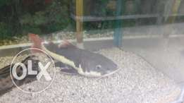 redtail catfish for sale!
