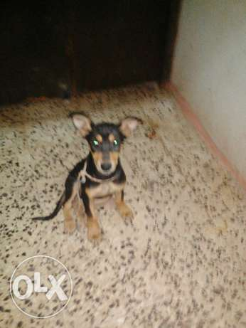 Doberman Shepherd مسقط -  1
