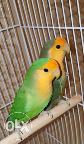 Jumbo Size, Very Productive, Orange Face Lovebird Pair With one Chick مسقط -  2