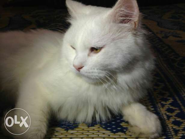 Turkish Angora Male cat. مسقط -  2