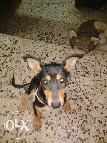 Doberman Shepherd مسقط -  4