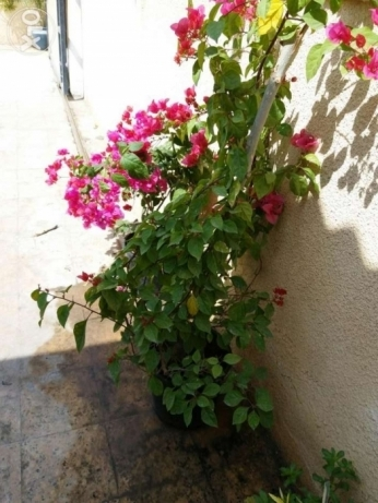 Two well grown flowering Bouganvillia plants 24 rials