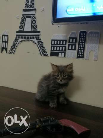 male kitty two months قط ذكر شهرين
