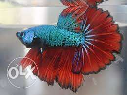 Dragonscale rosetail fighter fish for sale !