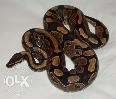 Affectionate male and female ball python Available