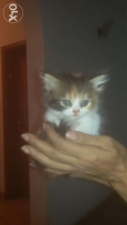 Two month Kittens For Sale