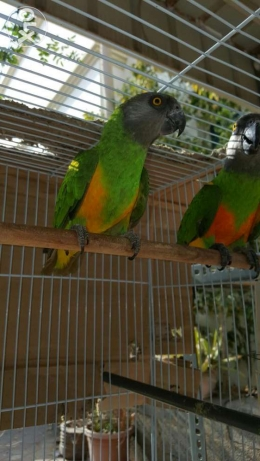 Kili Senegal Parrot Pair مسقط -  5