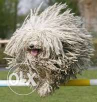 "Hungarian PULI ""Mop Dog"" for sale"