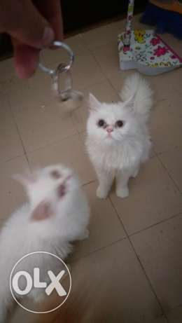 Persian cat 7 month old