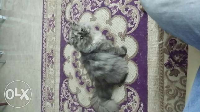 Two cats feminine for ssle مسقط -  7