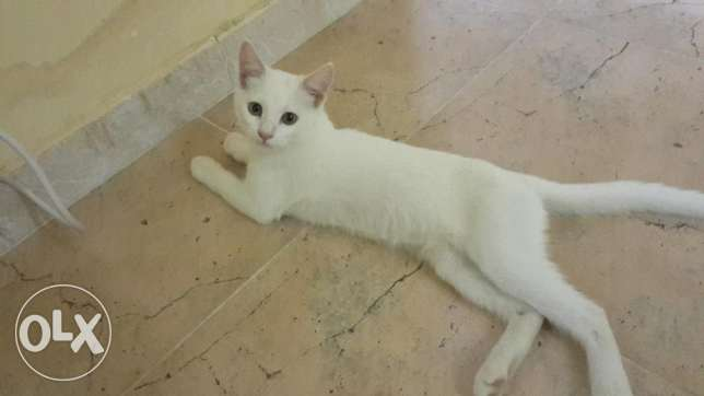 White 3 months Cat for sale