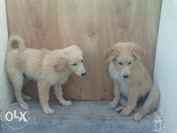 Golden Retriever Mix, Male.