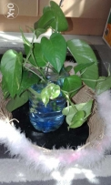 Money Plant in a basket
