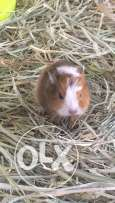 guineapigs for sale