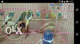 12 Adult parakeets / budgies with two hatchlings