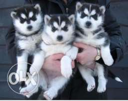 Male and Female blue eye Siberian husky puppy ready for a new home