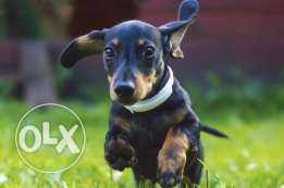 Dachshund - Wiener dog for sale